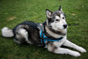 All For Dogs szelki norweskie Niebieski S
